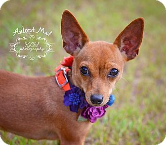 Chihuahua Dog for adoption in Fort Valley, Georgia - Gracie