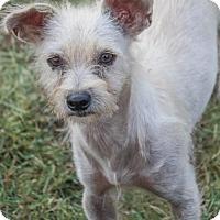 Adopt A Pet :: Chacha - Austin, TX