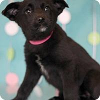 Adopt A Pet :: Pooh - Waldorf, MD