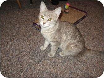 Domestic Shorthair Cat for adoption in Jenkintown, Pennsylvania - Kensy