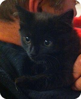 Domestic Mediumhair Kitten for adoption in Harriman, New York - Patsy