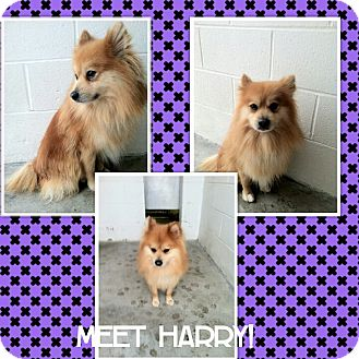 Pomeranian Dog for adoption in bridgeport, Connecticut - Harry