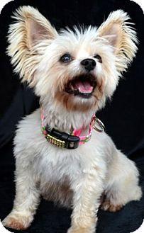 Maltese Mix Dog for adoption in Bridgeton, Missouri - Tallulah-Adoption pending