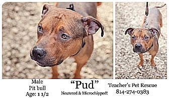 Pit Bull Terrier Mix Dog for adoption in Coudersport, Pennsylvania - PUD