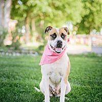 Adopt A Pet :: Sugar - Pueblo, CO