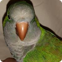 Adopt A Pet :: Maralyn - St. Louis, MO