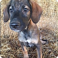 Adopt A Pet :: Bolden - Hamburg, PA