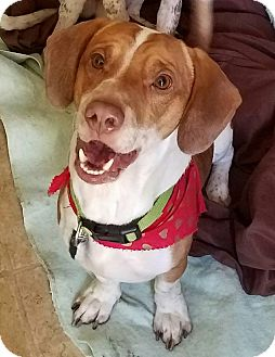 Basset Hound/Beagle Mix Puppy for adoption in Fayette City, Pennsylvania - Beau