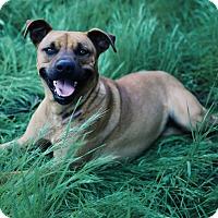 Rhodesian Ridgeback/Boxer Mix Dog for adoption in Riverside, California - Scarlett
