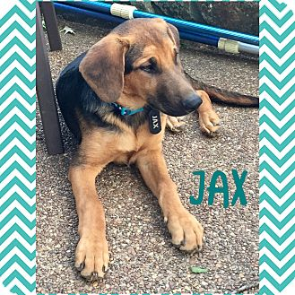 German Shepherd Dog/Bernese Mountain Dog Mix Puppy for adoption in PARSIPPANY, New Jersey - JAX