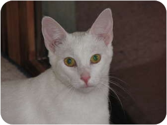 Domestic Shorthair Cat for adoption in Richfield, Ohio - Twinkle