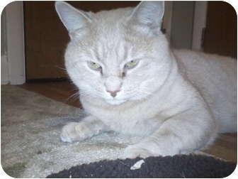 Domestic Shorthair Cat for adoption in Jenkintown, Pennsylvania - Leo