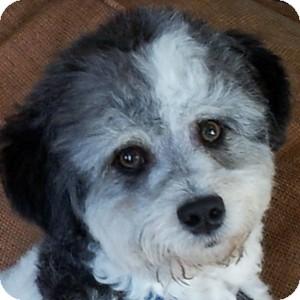 Bichon Frise Mix Puppy for adoption in La Costa, California - Sully