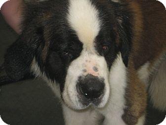 St. Bernard Dog for adoption in Sudbury, Massachusetts - BRUISER - ADOPTION PENDING