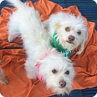 Adopt A Pet :: Maggie & Lucy AKA Sugar & Spice - Mission viejo, CA