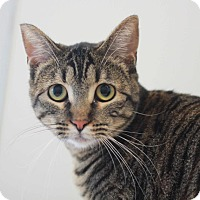 Domestic Shorthair Cat for adoption in Redwood City, California - Jelly