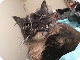 Domestic Mediumhair Cat for adoption in Richmond, Virginia - Paisley