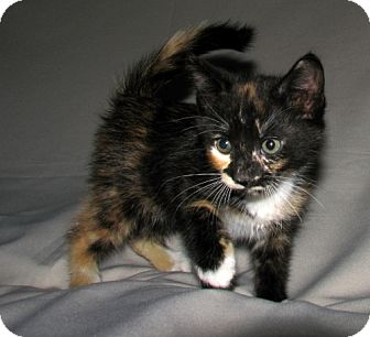 Domestic Shorthair Kitten for adoption in Norwich, New York - Ivy