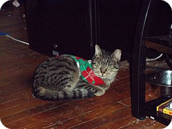 Domestic Shorthair Cat for adoption in feasterville, Pennsylvania - Cassie