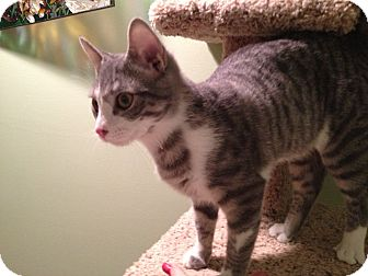 Domestic Shorthair Kitten for adoption in East Hanover, New Jersey - Peanut