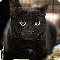 Domestic Shorthair Cat for adoption in Fairfax Station, Virginia - Amelie