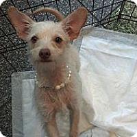 Adopt A Pet :: Tinker Bell - Costa Mesa, CA