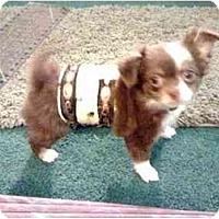 Adopt A Pet :: Bentley - SCOTTSDALE, AZ