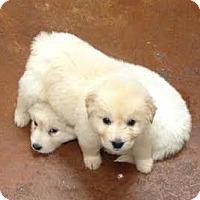 Adopt A Pet :: Fern Iggy Nikon Kingsley - New Canaan, CT