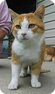Domestic Shorthair Cat for adoption in Columbus, Ohio - Ruben