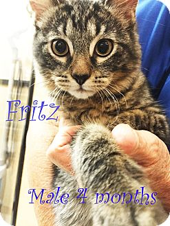 Maine Coon Kitten for adoption in New Braunfels, Texas - Fritz
