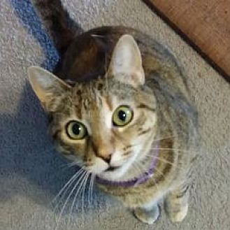 Domestic Mediumhair Cat for adoption in Kennedale, Texas - Katniss