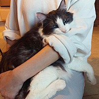Domestic Mediumhair Cat for adoption in Chino Hills, California - Ozil