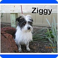 Adopt A Pet :: Ziggy - Shawnee Mission, KS