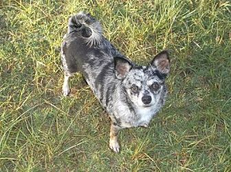 Australian Shepherd/Chihuahua Mix Dog for adoption in Bonifay, Florida - Merle