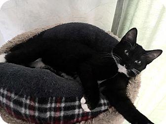 Domestic Shorthair Kitten for adoption in Burlington, North Carolina - Lucy