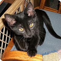 Domestic Shorthair Kitten for adoption in Lacon, Illinois - Darla