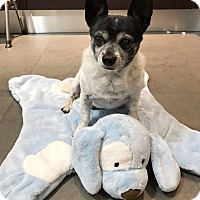 Terrier (Unknown Type, Small) Mix Dog for adoption in Key Biscayne, Florida - Oreo