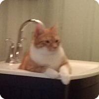 Adopt A Pet :: Socks - Mt Pleasant, SC