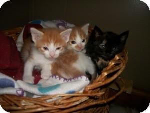 Maine Coon Kitten for adoption in Santa Monica, California - Terry