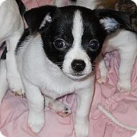 Adopt A Pet :: Johnny Ringo - Oklahoma City, OK