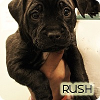 Adopt A Pet :: Rush - New York, NY