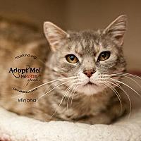 Domestic Shorthair Cat for adoption in Denver, Colorado - Winona