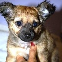 Adopt A Pet :: Sebastian - Littlerock, CA