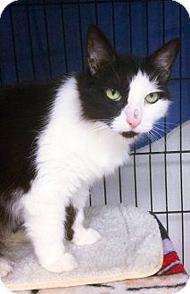 Domestic Shorthair Cat for adoption in Webster, Massachusetts - Sundae