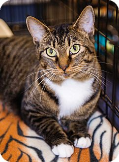 Domestic Shorthair Cat for adoption in Charlotte, North Carolina - A..  India