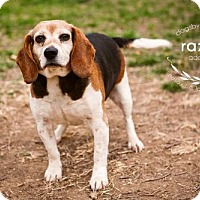 Adopt A Pet :: Razzle - Kansas City, MO