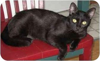 Domestic Shorthair Cat for adoption in AUSTIN, Texas - Logan