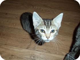 Domestic Shorthair Kitten for adoption in Catasauqua, Pennsylvania - Simone
