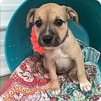 Adopt A Pet :: Mara - Russellville, KY