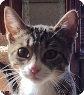 Domestic Shorthair Kitten for adoption in Eureka, California - B'Elanna